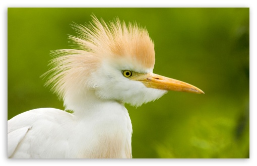 Cattle Egret Florida HD wallpaper for Wide 16:10 5:3 Widescreen WHXGA WQXGA WUXGA WXGA WGA ; HD 16:9 High Definition WQHD QWXGA 1080p 900p 720p QHD nHD ; Standard 4:3 5:4 3:2 Fullscreen UXGA XGA SVGA QSXGA SXGA DVGA HVGA HQVGA devices ( Apple PowerBook G4 iPhone 4 3G 3GS iPod Touch ) ; iPad 1/2/Mini ; Mobile 4:3 5:3 3:2 16:9 5:4 - UXGA XGA SVGA WGA DVGA HVGA HQVGA devices ( Apple PowerBook G4 iPhone 4 3G 3GS iPod Touch ) WQHD QWXGA 1080p 900p 720p QHD nHD QSXGA SXGA ;