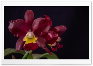 Cattleya Chocolate Drop x Cattleya Landate Orchids Flowers HD Wide Wallpaper for 4K UHD Widescreen desktop & smartphone