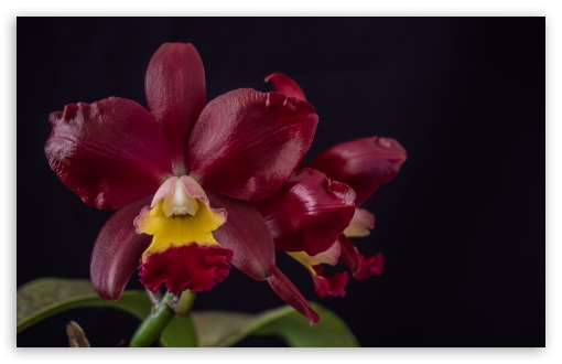 Cattleya Chocolate Drop x Cattleya Landate Orchids Flowers ❤ 4K UHD Wallpaper for Wide 16:10 5:3 Widescreen WHXGA WQXGA WUXGA WXGA WGA ; 4K UHD 16:9 Ultra High Definition 2160p 1440p 1080p 900p 720p ; UHD 16:9 2160p 1440p 1080p 900p 720p ; Standard 4:3 5:4 3:2 Fullscreen UXGA XGA SVGA QSXGA SXGA DVGA HVGA HQVGA ( Apple PowerBook G4 iPhone 4 3G 3GS iPod Touch ) ; Tablet 1:1 ; iPad 1/2/Mini ; Mobile 4:3 5:3 3:2 16:9 5:4 - UXGA XGA SVGA WGA DVGA HVGA HQVGA ( Apple PowerBook G4 iPhone 4 3G 3GS iPod Touch ) 2160p 1440p 1080p 900p 720p QSXGA SXGA ; Dual 5:4 QSXGA SXGA ;
