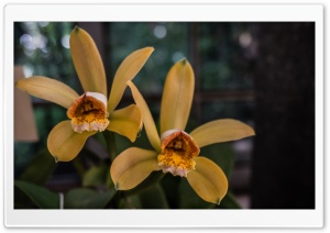 Cattleya Forbesii Orchids Flowers HD Wide Wallpaper for 4K UHD Widescreen desktop & smartphone