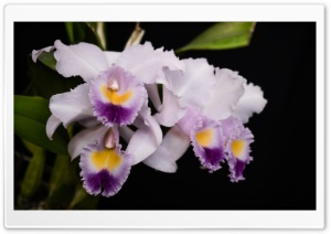 Cattleya Gaskelliana Coerulea Orchids Flowers HD Wide Wallpaper for 4K UHD Widescreen desktop & smartphone