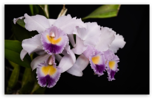 Cattleya Gaskelliana Coerulea Orchids Flowers ❤ 4K UHD Wallpaper for Wide 16:10 5:3 Widescreen WHXGA WQXGA WUXGA WXGA WGA ; 4K UHD 16:9 Ultra High Definition 2160p 1440p 1080p 900p 720p ; UHD 16:9 2160p 1440p 1080p 900p 720p ; Standard 4:3 5:4 3:2 Fullscreen UXGA XGA SVGA QSXGA SXGA DVGA HVGA HQVGA ( Apple PowerBook G4 iPhone 4 3G 3GS iPod Touch ) ; Smartphone 5:3 WGA ; Tablet 1:1 ; iPad 1/2/Mini ; Mobile 4:3 5:3 3:2 16:9 5:4 - UXGA XGA SVGA WGA DVGA HVGA HQVGA ( Apple PowerBook G4 iPhone 4 3G 3GS iPod Touch ) 2160p 1440p 1080p 900p 720p QSXGA SXGA ; Dual 5:4 QSXGA SXGA ;