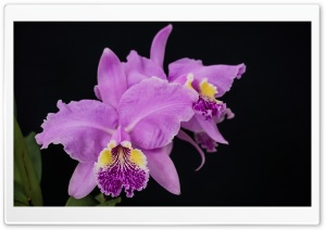 Cattleya Lueddemanniana Orchids Flowers HD Wide Wallpaper for Widescreen
