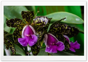 Cattleya Peckhaviensis Orchids Flowers HD Wide Wallpaper for 4K UHD Widescreen desktop & smartphone