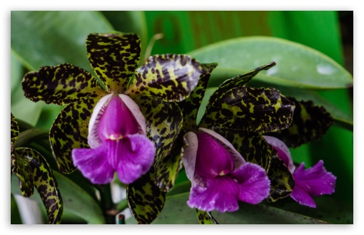 Cattleya Peckhaviensis Orchids Flowers ❤ 4K UHD Wallpaper for Wide 16:10 5:3 Widescreen WHXGA WQXGA WUXGA WXGA WGA ; 4K UHD 16:9 Ultra High Definition 2160p 1440p 1080p 900p 720p ; UHD 16:9 2160p 1440p 1080p 900p 720p ; Standard 4:3 5:4 3:2 Fullscreen UXGA XGA SVGA QSXGA SXGA DVGA HVGA HQVGA ( Apple PowerBook G4 iPhone 4 3G 3GS iPod Touch ) ; Smartphone 5:3 WGA ; Tablet 1:1 ; iPad 1/2/Mini ; Mobile 4:3 5:3 3:2 16:9 5:4 - UXGA XGA SVGA WGA DVGA HVGA HQVGA ( Apple PowerBook G4 iPhone 4 3G 3GS iPod Touch ) 2160p 1440p 1080p 900p 720p QSXGA SXGA ; Dual 5:4 QSXGA SXGA ;
