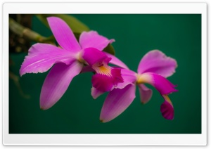 Cattleya Violacea Orchids Flowers HD Wide Wallpaper for Widescreen