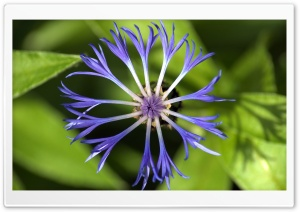 Centaurea Montana Flower HD Wide Wallpaper for Widescreen