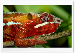 Chameleon HD Wide Wallpaper for Widescreen
