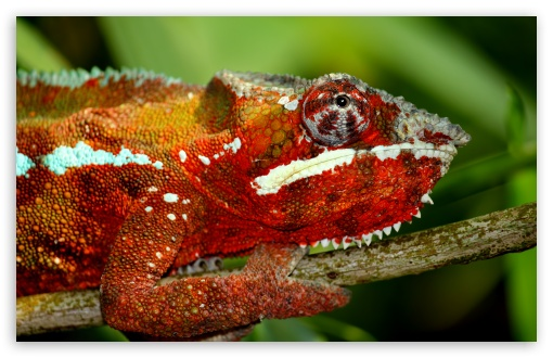 Chameleon HD wallpaper for Wide 16:10 5:3 Widescreen WHXGA WQXGA WUXGA WXGA WGA ; HD 16:9 High Definition WQHD QWXGA 1080p 900p 720p QHD nHD ; UHD 16:9 WQHD QWXGA 1080p 900p 720p QHD nHD ; Standard 4:3 5:4 3:2 Fullscreen UXGA XGA SVGA QSXGA SXGA DVGA HVGA HQVGA devices ( Apple PowerBook G4 iPhone 4 3G 3GS iPod Touch ) ; Tablet 1:1 ; iPad 1/2/Mini ; Mobile 4:3 5:3 3:2 16:9 5:4 - UXGA XGA SVGA WGA DVGA HVGA HQVGA devices ( Apple PowerBook G4 iPhone 4 3G 3GS iPod Touch ) WQHD QWXGA 1080p 900p 720p QHD nHD QSXGA SXGA ;