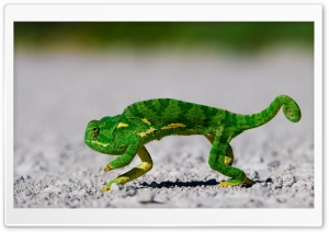 Chameleon HD Wide Wallpaper for Widescreen