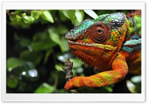 Chameleon Changing Color Macro HD Wide Wallpaper for Widescreen