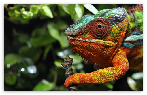 Chameleon Changing Color Macro ❤ 4K UHD Wallpaper for Wide 16:10 5:3 Widescreen WHXGA WQXGA WUXGA WXGA WGA ; 4K UHD 16:9 Ultra High Definition 2160p 1440p 1080p 900p 720p ; Standard 4:3 5:4 3:2 Fullscreen UXGA XGA SVGA QSXGA SXGA DVGA HVGA HQVGA ( Apple PowerBook G4 iPhone 4 3G 3GS iPod Touch ) ; Tablet 1:1 ; iPad 1/2/Mini ; Mobile 4:3 5:3 3:2 16:9 5:4 - UXGA XGA SVGA WGA DVGA HVGA HQVGA ( Apple PowerBook G4 iPhone 4 3G 3GS iPod Touch ) 2160p 1440p 1080p 900p 720p QSXGA SXGA ;