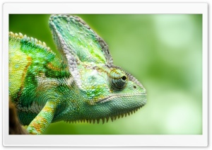 Chameleon Forest Lizard HD Wide Wallpaper for Widescreen