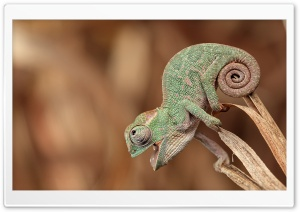 Chameleon Macro HD Wide Wallpaper for Widescreen