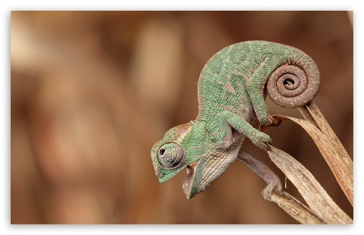 Chameleon Macro ❤ 4K UHD Wallpaper for Wide 16:10 5:3 Widescreen WHXGA WQXGA WUXGA WXGA WGA ; 4K UHD 16:9 Ultra High Definition 2160p 1440p 1080p 900p 720p ; Standard 4:3 5:4 3:2 Fullscreen UXGA XGA SVGA QSXGA SXGA DVGA HVGA HQVGA ( Apple PowerBook G4 iPhone 4 3G 3GS iPod Touch ) ; Tablet 1:1 ; iPad 1/2/Mini ; Mobile 4:3 5:3 3:2 16:9 5:4 - UXGA XGA SVGA WGA DVGA HVGA HQVGA ( Apple PowerBook G4 iPhone 4 3G 3GS iPod Touch ) 2160p 1440p 1080p 900p 720p QSXGA SXGA ;