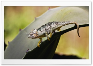 Chameleon Samburu Game Reserve Kenya HD Wide Wallpaper for Widescreen