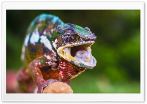 Chameleon Tongue HD Wide Wallpaper for Widescreen