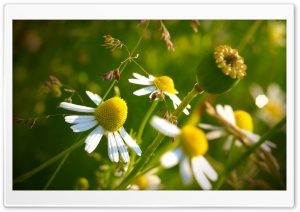 Chamomile HD Wide Wallpaper for 4K UHD Widescreen desktop & smartphone