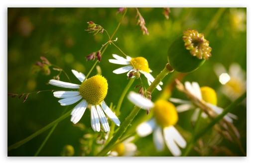 Chamomile HD wallpaper for Wide 16:10 5:3 Widescreen WHXGA WQXGA WUXGA WXGA WGA ; HD 16:9 High Definition WQHD QWXGA 1080p 900p 720p QHD nHD ; Standard 4:3 5:4 3:2 Fullscreen UXGA XGA SVGA QSXGA SXGA DVGA HVGA HQVGA devices ( Apple PowerBook G4 iPhone 4 3G 3GS iPod Touch ) ; iPad 1/2/Mini ; Mobile 4:3 5:3 3:2 16:9 5:4 - UXGA XGA SVGA WGA DVGA HVGA HQVGA devices ( Apple PowerBook G4 iPhone 4 3G 3GS iPod Touch ) WQHD QWXGA 1080p 900p 720p QHD nHD QSXGA SXGA ;