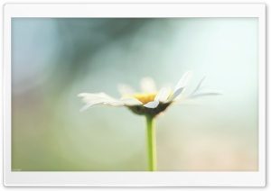Chamomile HD Wide Wallpaper for Widescreen