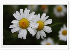 Chamomile Ultra HD Wallpaper for 4K UHD Widescreen desktop, tablet & smartphone