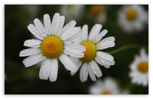 Chamomile HD wallpaper for Wide 16:10 5:3 Widescreen WHXGA WQXGA WUXGA WXGA WGA ; HD 16:9 High Definition WQHD QWXGA 1080p 900p 720p QHD nHD ; UHD 16:9 WQHD QWXGA 1080p 900p 720p QHD nHD ; Standard 4:3 5:4 3:2 Fullscreen UXGA XGA SVGA QSXGA SXGA DVGA HVGA HQVGA devices ( Apple PowerBook G4 iPhone 4 3G 3GS iPod Touch ) ; Tablet 1:1 ; iPad 1/2/Mini ; Mobile 4:3 5:3 3:2 16:9 5:4 - UXGA XGA SVGA WGA DVGA HVGA HQVGA devices ( Apple PowerBook G4 iPhone 4 3G 3GS iPod Touch ) WQHD QWXGA 1080p 900p 720p QHD nHD QSXGA SXGA ;