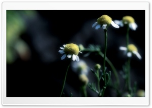 Chamomile Dark HD Wide Wallpaper for Widescreen