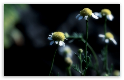 Chamomile Dark UltraHD Wallpaper for Wide 16:10 5:3 Widescreen WHXGA WQXGA WUXGA WXGA WGA ; 8K UHD TV 16:9 Ultra High Definition 2160p 1440p 1080p 900p 720p ; Standard 4:3 5:4 3:2 Fullscreen UXGA XGA SVGA QSXGA SXGA DVGA HVGA HQVGA ( Apple PowerBook G4 iPhone 4 3G 3GS iPod Touch ) ; Tablet 1:1 ; iPad 1/2/Mini ; Mobile 4:3 5:3 3:2 16:9 5:4 - UXGA XGA SVGA WGA DVGA HVGA HQVGA ( Apple PowerBook G4 iPhone 4 3G 3GS iPod Touch ) 2160p 1440p 1080p 900p 720p QSXGA SXGA ;