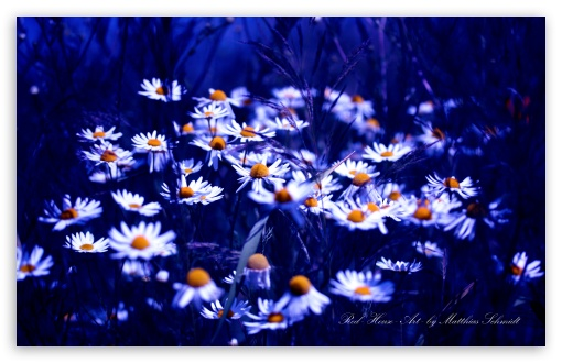 Chamomile Flowers HD wallpaper for Wide 16:10 5:3 Widescreen WHXGA WQXGA WUXGA WXGA WGA ; HD 16:9 High Definition WQHD QWXGA 1080p 900p 720p QHD nHD ; UHD 16:9 WQHD QWXGA 1080p 900p 720p QHD nHD ; Standard 3:2 Fullscreen DVGA HVGA HQVGA devices ( Apple PowerBook G4 iPhone 4 3G 3GS iPod Touch ) ; Mobile 5:3 3:2 16:9 - WGA DVGA HVGA HQVGA devices ( Apple PowerBook G4 iPhone 4 3G 3GS iPod Touch ) WQHD QWXGA 1080p 900p 720p QHD nHD ;