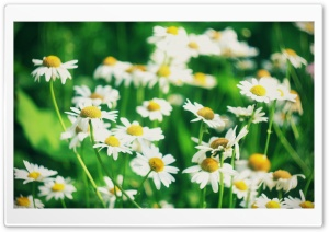Chamomile Flowers HD Wide Wallpaper for Widescreen