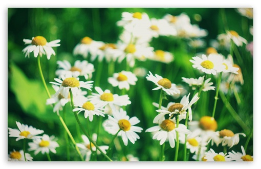 Chamomile Flowers HD wallpaper for Wide 16:10 5:3 Widescreen WHXGA WQXGA WUXGA WXGA WGA ; HD 16:9 High Definition WQHD QWXGA 1080p 900p 720p QHD nHD ; Standard 4:3 5:4 3:2 Fullscreen UXGA XGA SVGA QSXGA SXGA DVGA HVGA HQVGA devices ( Apple PowerBook G4 iPhone 4 3G 3GS iPod Touch ) ; Tablet 1:1 ; iPad 1/2/Mini ; Mobile 4:3 5:3 3:2 16:9 5:4 - UXGA XGA SVGA WGA DVGA HVGA HQVGA devices ( Apple PowerBook G4 iPhone 4 3G 3GS iPod Touch ) WQHD QWXGA 1080p 900p 720p QHD nHD QSXGA SXGA ; Dual 16:10 5:3 16:9 4:3 5:4 WHXGA WQXGA WUXGA WXGA WGA WQHD QWXGA 1080p 900p 720p QHD nHD UXGA XGA SVGA QSXGA SXGA ;