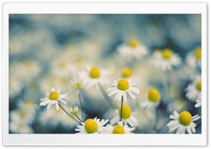 Chamomile Flowers Macro HD Wide Wallpaper for Widescreen
