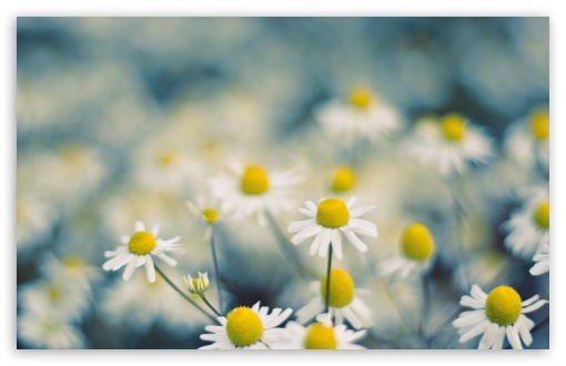 Chamomile Flowers Macro ❤ 4K UHD Wallpaper for Wide 16:10 5:3 Widescreen WHXGA WQXGA WUXGA WXGA WGA ; 4K UHD 16:9 Ultra High Definition 2160p 1440p 1080p 900p 720p ; Standard 4:3 5:4 3:2 Fullscreen UXGA XGA SVGA QSXGA SXGA DVGA HVGA HQVGA ( Apple PowerBook G4 iPhone 4 3G 3GS iPod Touch ) ; Tablet 1:1 ; iPad 1/2/Mini ; Mobile 4:3 5:3 3:2 16:9 5:4 - UXGA XGA SVGA WGA DVGA HVGA HQVGA ( Apple PowerBook G4 iPhone 4 3G 3GS iPod Touch ) 2160p 1440p 1080p 900p 720p QSXGA SXGA ; Dual 16:10 5:3 16:9 4:3 5:4 WHXGA WQXGA WUXGA WXGA WGA 2160p 1440p 1080p 900p 720p UXGA XGA SVGA QSXGA SXGA ;