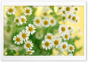 Chamomile Macro HD Wide Wallpaper for Widescreen