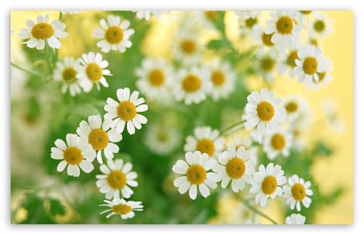 Chamomile Macro ❤ 4K UHD Wallpaper for Wide 16:10 5:3 Widescreen WHXGA WQXGA WUXGA WXGA WGA ; 4K UHD 16:9 Ultra High Definition 2160p 1440p 1080p 900p 720p ; Standard 4:3 5:4 3:2 Fullscreen UXGA XGA SVGA QSXGA SXGA DVGA HVGA HQVGA ( Apple PowerBook G4 iPhone 4 3G 3GS iPod Touch ) ; Tablet 1:1 ; iPad 1/2/Mini ; Mobile 4:3 5:3 3:2 16:9 5:4 - UXGA XGA SVGA WGA DVGA HVGA HQVGA ( Apple PowerBook G4 iPhone 4 3G 3GS iPod Touch ) 2160p 1440p 1080p 900p 720p QSXGA SXGA ; Dual 16:10 5:3 16:9 4:3 5:4 WHXGA WQXGA WUXGA WXGA WGA 2160p 1440p 1080p 900p 720p UXGA XGA SVGA QSXGA SXGA ;