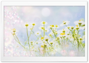 Chamomile Magic HD Wide Wallpaper for Widescreen