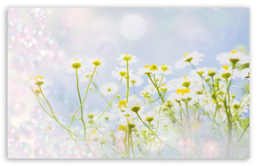 Chamomile Magic ❤ 4K UHD Wallpaper for Wide 16:10 5:3 Widescreen WHXGA WQXGA WUXGA WXGA WGA ; 4K UHD 16:9 Ultra High Definition 2160p 1440p 1080p 900p 720p ; Standard 4:3 5:4 3:2 Fullscreen UXGA XGA SVGA QSXGA SXGA DVGA HVGA HQVGA ( Apple PowerBook G4 iPhone 4 3G 3GS iPod Touch ) ; Tablet 1:1 ; iPad 1/2/Mini ; Mobile 4:3 5:3 3:2 16:9 5:4 - UXGA XGA SVGA WGA DVGA HVGA HQVGA ( Apple PowerBook G4 iPhone 4 3G 3GS iPod Touch ) 2160p 1440p 1080p 900p 720p QSXGA SXGA ;