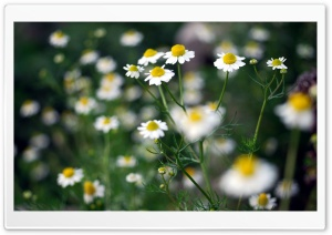 Chamomile Plant HD Wide Wallpaper for 4K UHD Widescreen desktop & smartphone