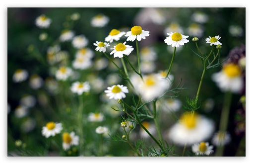 Chamomile Plant HD wallpaper for Wide 16:10 5:3 Widescreen WHXGA WQXGA WUXGA WXGA WGA ; HD 16:9 High Definition WQHD QWXGA 1080p 900p 720p QHD nHD ; UHD 16:9 WQHD QWXGA 1080p 900p 720p QHD nHD ; Standard 4:3 5:4 3:2 Fullscreen UXGA XGA SVGA QSXGA SXGA DVGA HVGA HQVGA devices ( Apple PowerBook G4 iPhone 4 3G 3GS iPod Touch ) ; Tablet 1:1 ; iPad 1/2/Mini ; Mobile 4:3 5:3 3:2 16:9 5:4 - UXGA XGA SVGA WGA DVGA HVGA HQVGA devices ( Apple PowerBook G4 iPhone 4 3G 3GS iPod Touch ) WQHD QWXGA 1080p 900p 720p QHD nHD QSXGA SXGA ;
