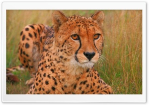Cheetah HD Wide Wallpaper for 4K UHD Widescreen desktop & smartphone