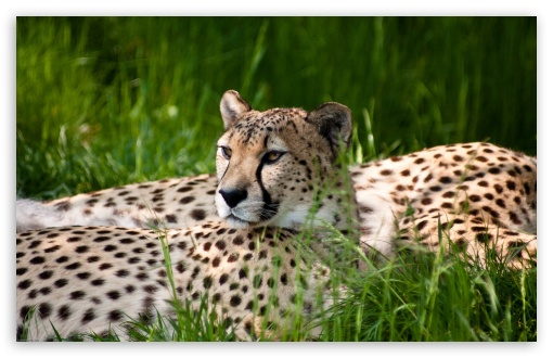 Cheetah HD wallpaper for Wide 16:10 5:3 Widescreen WHXGA WQXGA WUXGA WXGA WGA ; HD 16:9 High Definition WQHD QWXGA 1080p 900p 720p QHD nHD ; Standard 4:3 5:4 3:2 Fullscreen UXGA XGA SVGA QSXGA SXGA DVGA HVGA HQVGA devices ( Apple PowerBook G4 iPhone 4 3G 3GS iPod Touch ) ; Tablet 1:1 ; iPad 1/2/Mini ; Mobile 4:3 5:3 3:2 16:9 5:4 - UXGA XGA SVGA WGA DVGA HVGA HQVGA devices ( Apple PowerBook G4 iPhone 4 3G 3GS iPod Touch ) WQHD QWXGA 1080p 900p 720p QHD nHD QSXGA SXGA ; Dual 5:4 QSXGA SXGA ;