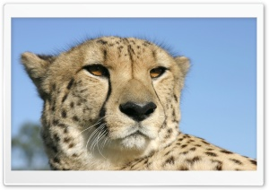 Cheetah 3 HD Wide Wallpaper for Widescreen