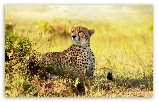 Cheetah HD wallpaper for Wide 16:10 5:3 Widescreen WHXGA WQXGA WUXGA WXGA WGA ; HD 16:9 High Definition WQHD QWXGA 1080p 900p 720p QHD nHD ; Standard 4:3 5:4 3:2 Fullscreen UXGA XGA SVGA QSXGA SXGA DVGA HVGA HQVGA devices ( Apple PowerBook G4 iPhone 4 3G 3GS iPod Touch ) ; Tablet 1:1 ; iPad 1/2/Mini ; Mobile 4:3 5:3 3:2 16:9 5:4 - UXGA XGA SVGA WGA DVGA HVGA HQVGA devices ( Apple PowerBook G4 iPhone 4 3G 3GS iPod Touch ) WQHD QWXGA 1080p 900p 720p QHD nHD QSXGA SXGA ;