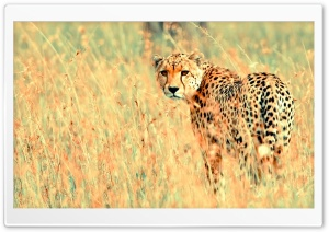 Cheetah HD Wide Wallpaper for Widescreen