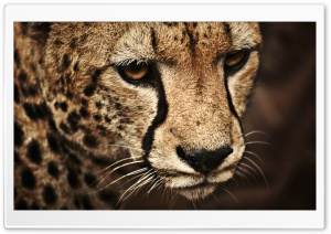 Cheetah Ultra HD Wallpaper for 4K UHD Widescreen desktop, tablet & smartphone