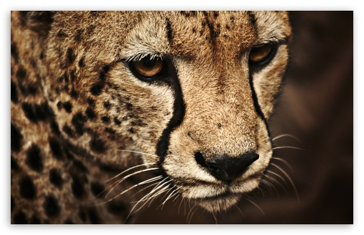 Cheetah UltraHD Wallpaper for Wide 16:10 5:3 Widescreen WHXGA WQXGA WUXGA WXGA WGA ; 8K UHD TV 16:9 Ultra High Definition 2160p 1440p 1080p 900p 720p ; UHD 16:9 2160p 1440p 1080p 900p 720p ; Standard 4:3 5:4 3:2 Fullscreen UXGA XGA SVGA QSXGA SXGA DVGA HVGA HQVGA ( Apple PowerBook G4 iPhone 4 3G 3GS iPod Touch ) ; Tablet 1:1 ; iPad 1/2/Mini ; Mobile 4:3 5:3 3:2 16:9 5:4 - UXGA XGA SVGA WGA DVGA HVGA HQVGA ( Apple PowerBook G4 iPhone 4 3G 3GS iPod Touch ) 2160p 1440p 1080p 900p 720p QSXGA SXGA ;