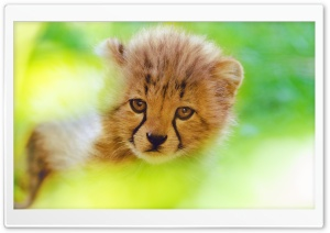 Cheetah Cub Face HD Wide Wallpaper for Widescreen