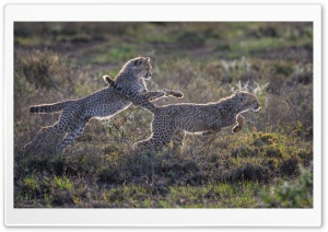 Cheetah Cubs Running HD Wide Wallpaper for Widescreen