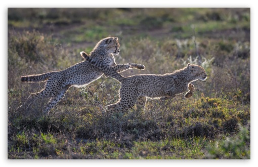 Cheetah Cubs Running ❤ 4K UHD Wallpaper for Wide 16:10 5:3 Widescreen WHXGA WQXGA WUXGA WXGA WGA ; UltraWide 21:9 24:10 ; 4K UHD 16:9 Ultra High Definition 2160p 1440p 1080p 900p 720p ; UHD 16:9 2160p 1440p 1080p 900p 720p ; Standard 4:3 5:4 3:2 Fullscreen UXGA XGA SVGA QSXGA SXGA DVGA HVGA HQVGA ( Apple PowerBook G4 iPhone 4 3G 3GS iPod Touch ) ; Tablet 1:1 ; iPad 1/2/Mini ; Mobile 4:3 5:3 3:2 16:9 5:4 - UXGA XGA SVGA WGA DVGA HVGA HQVGA ( Apple PowerBook G4 iPhone 4 3G 3GS iPod Touch ) 2160p 1440p 1080p 900p 720p QSXGA SXGA ; Dual 16:10 5:3 16:9 4:3 5:4 3:2 WHXGA WQXGA WUXGA WXGA WGA 2160p 1440p 1080p 900p 720p UXGA XGA SVGA QSXGA SXGA DVGA HVGA HQVGA ( Apple PowerBook G4 iPhone 4 3G 3GS iPod Touch ) ;