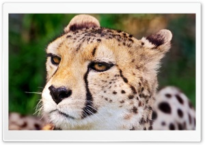 Cheetah Face HD Wide Wallpaper for Widescreen